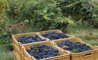 Distintos tipos de uvas en Uruguay